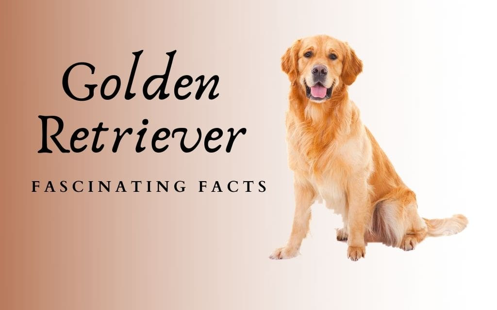 Golden Retriever Breed (Traits and Facts): America's sweetheart