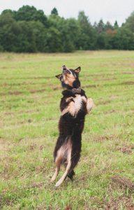 german-shepherd-ability