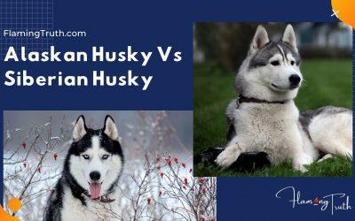 Alaskan Husky vs Siberian Husky | The Complete Guide