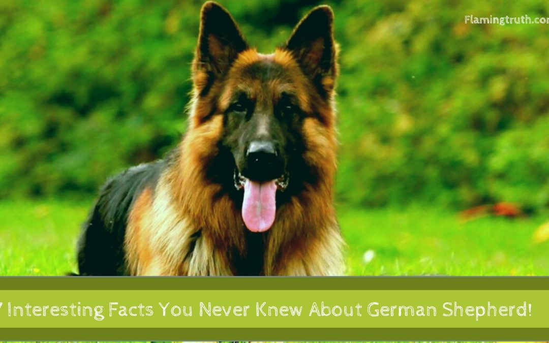 7Interesting Facts About German Shepherd That You Never Knew