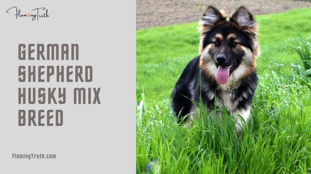 germen-shepherd-husky-mix-breed