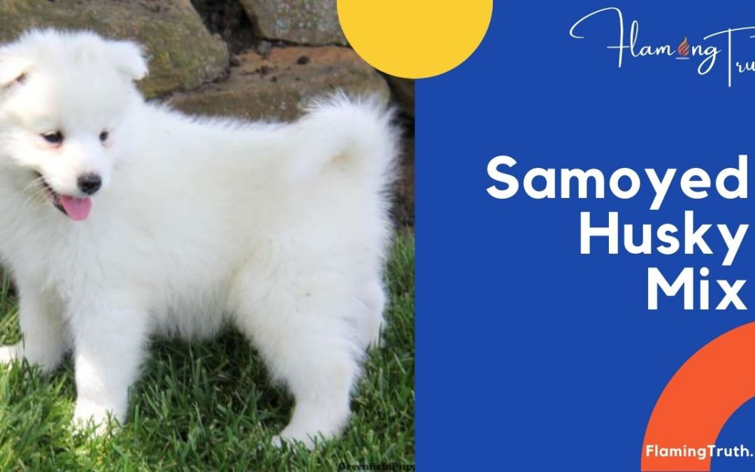 Samoyed Husky Mix | Their Characteristics and Interesting Facts