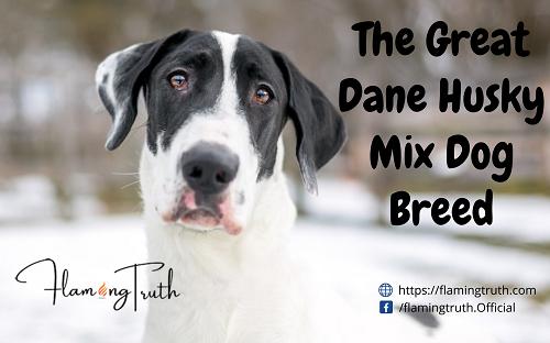The Great Dane Husky Mix Dog Breed